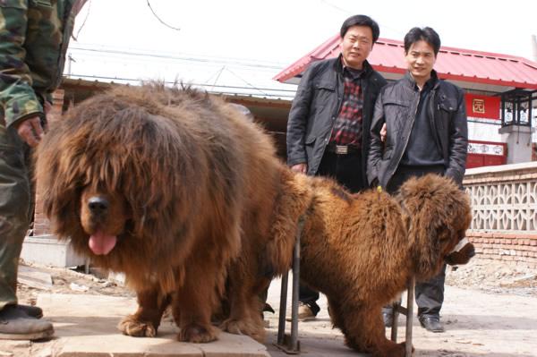 红狮兽1号直女配北京多利獒园小盖帽